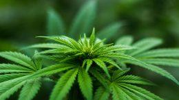 Pritvor i kaznena prijava 23-godišnjaku zbog uzgajanja i prodaje marihuane