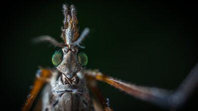 Borba protiv letećih krvopija – U ponedjeljak navečer kreće zaprašivanje komaraca u Kostreni