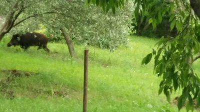 FOTO Divlje svinje ostavile veliki nered nakon posjete Kostreni