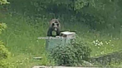 VIDEO Nesvakidašnji gost – Mali medvjedić u điru po Mučićima