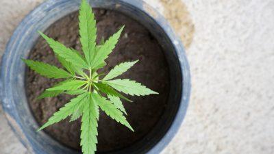 Kazneno prijavljen 25-godišnjak zbog uzgoja i prodaje marihuane na riječkom području