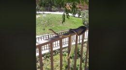 VIDEO Ogromna zmija u parku Pomerio izazvala velik interes Riječana
