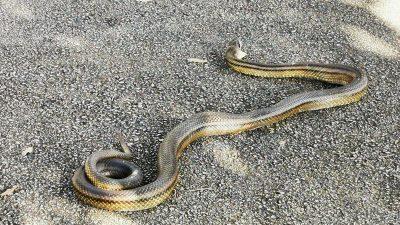 U OKU KAMERE Ogromna zmija iznenadila Riječane – Izašla na sunčanje iznad plaže Sablićevo