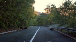 [FOTO] Bliski susret s divljim svinjama i na Grohovskom putu: U zadnji čas smo zakočili i izbjegli sudar s jednim većim čoporom